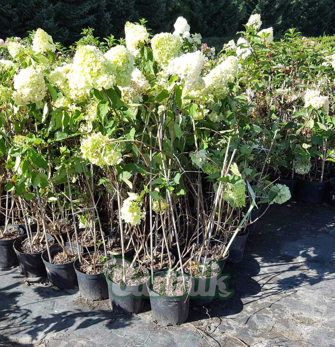 Liściaste Hortensja Bukietowa Polar Bear Hydrangea Paniculata