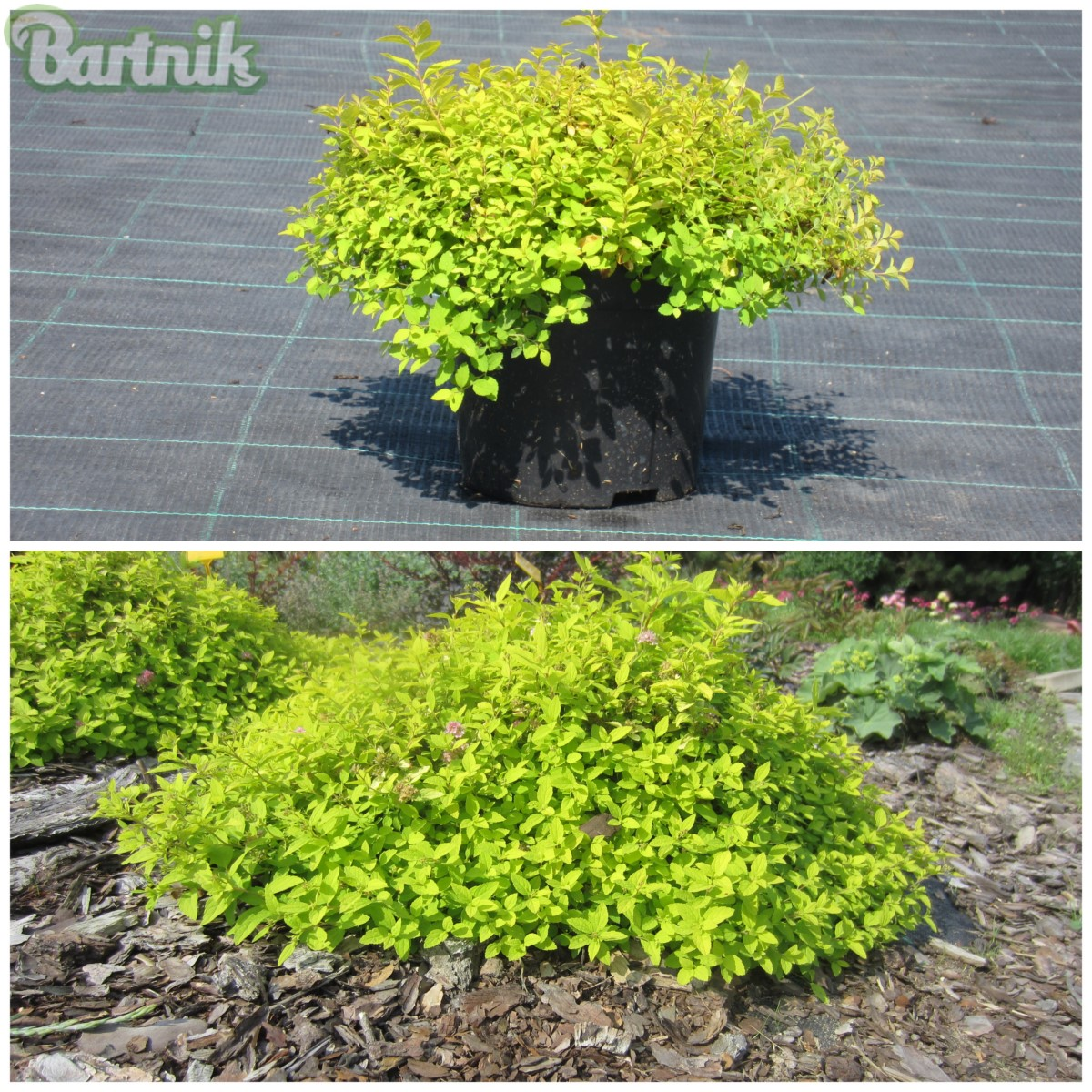 TAWUŁA JAPOŃSKA 'GOLDEN CARPET' SPIRAEA JAPONICA 'GOLDEN CARPET'